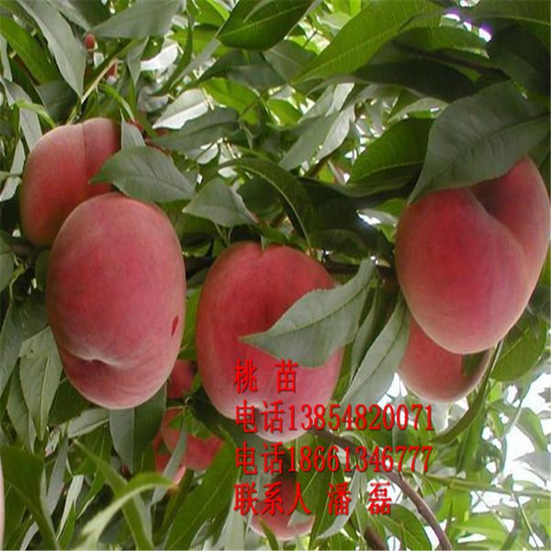 映霜红桃树苗 映霜红桃树苗新品种