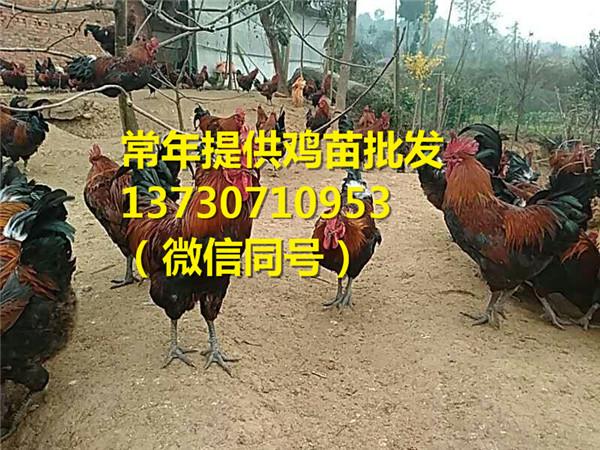 铜川青年鸡销售点,青年鸡图片