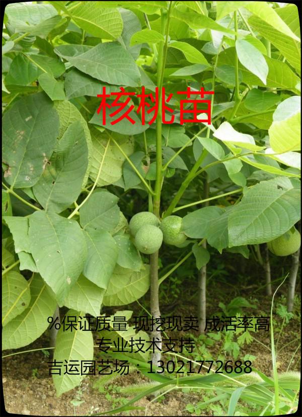 滁州地区适合种植哪个品种核桃苗,欢迎您