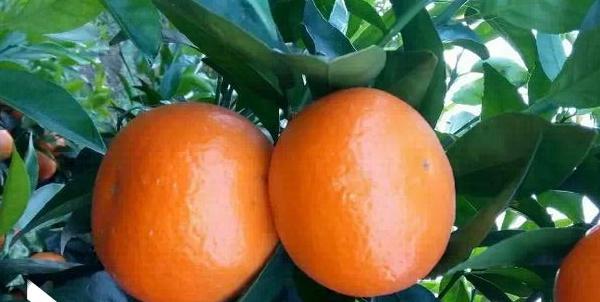 桂林金秋砂糖桔果苗价格多少钱一棵