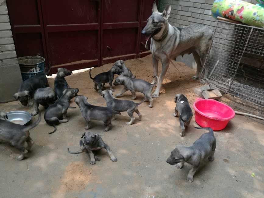 云南卖狗;云南狗场;昆明狗场出售纯种昆明犬