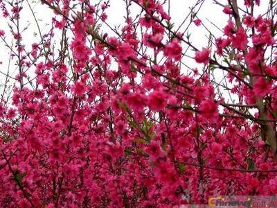 日本紅楓苗使其平展向外生長并進行剪砧