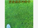 河北黄骅绿化草坪种子马来草籽