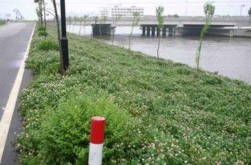 一般情况下大滨菊种子成本和怎么卖