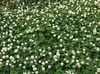 问一下万寿菊种子正常价格