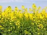 甘肃花卉-花环菊种子价格