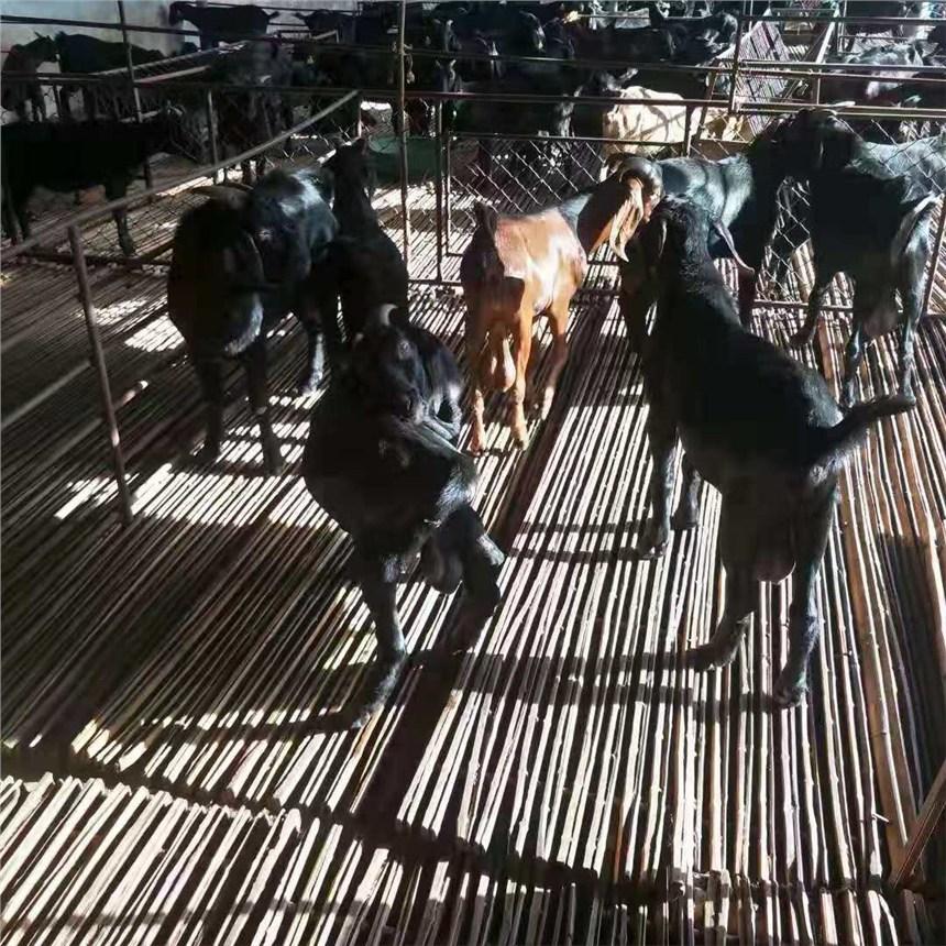 小尾寒羊成年小尾寒羊價格2020年小尾寒羊價格養殖現供