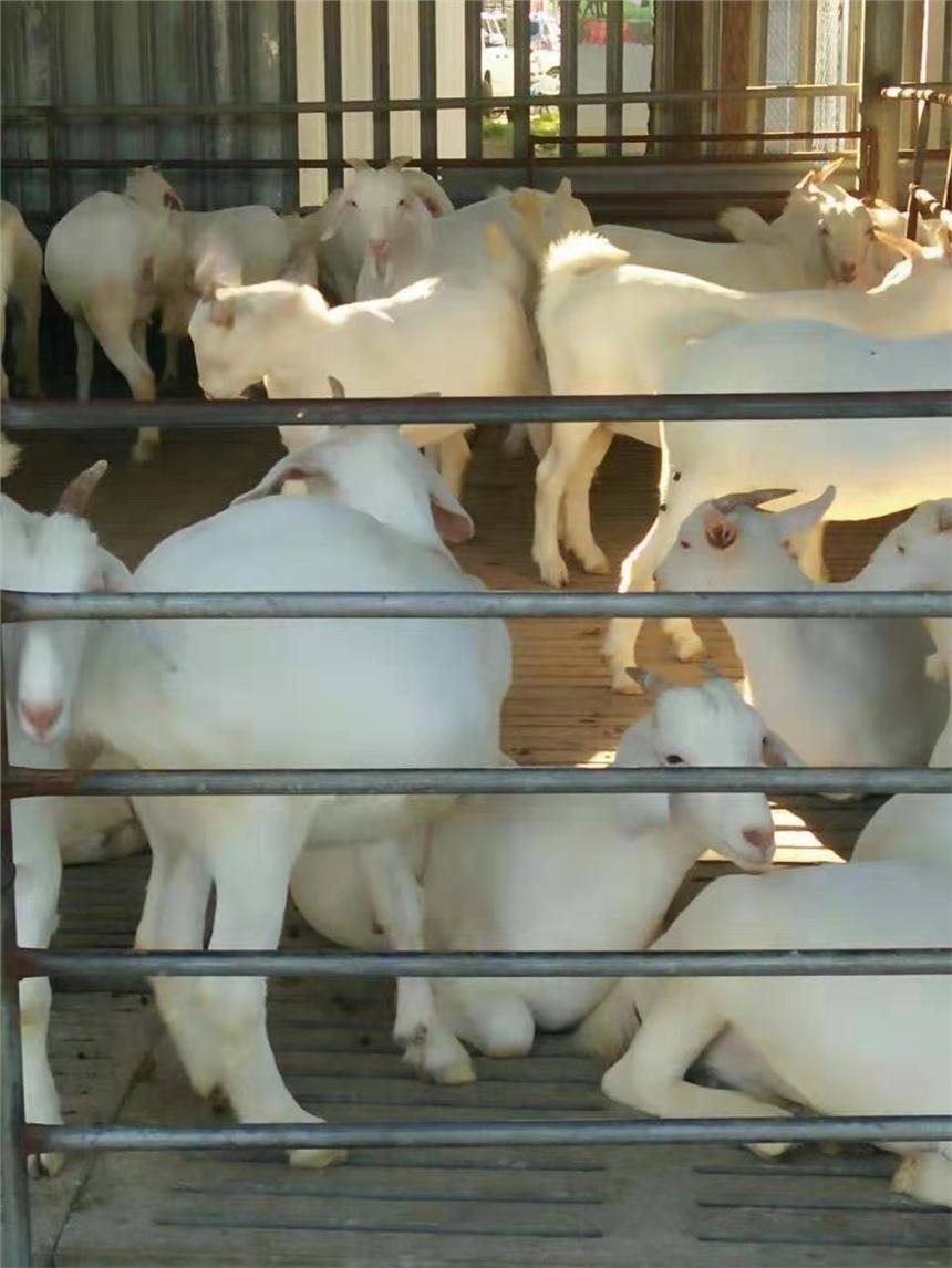 今日活羊市场最新价格杜泊羊跟湖羊哪个好养养殖供应