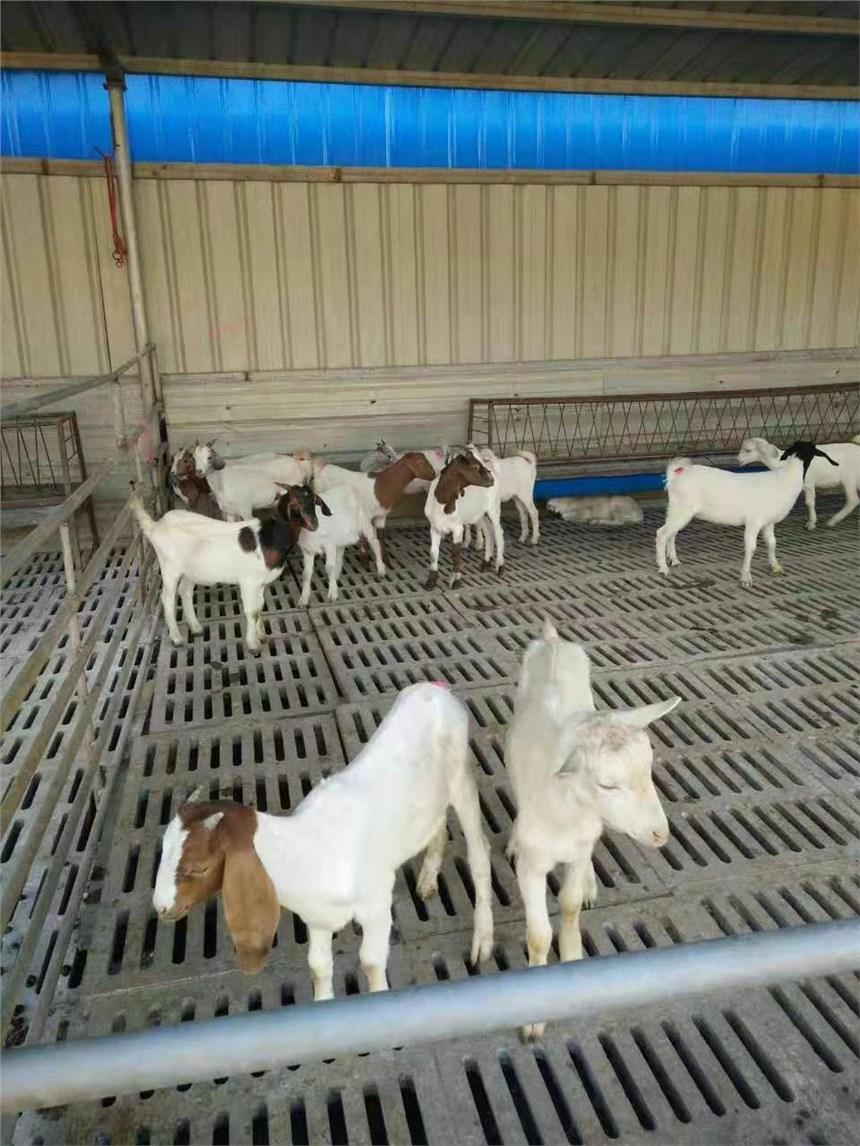 小尾寒羊羊羔价格小尾寒羊价格今日养殖厂价