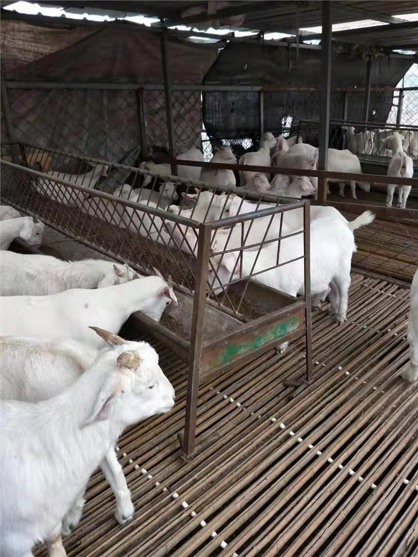 買小尾寒羊上哪里好現在小尾寒羊價格養殖現供