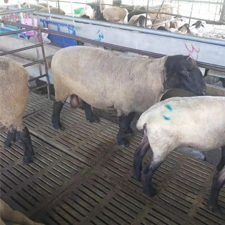 30斤小羊羔价格一只30只小尾寒羊价格免费送货今日现价