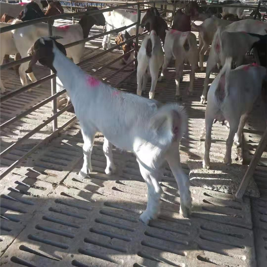 肉羊價格現多少錢一斤羊價格走勢圖2020養殖現供