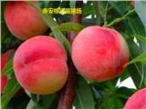 沅陵县这里买嫁接锦绣黄桃苗种类繁多