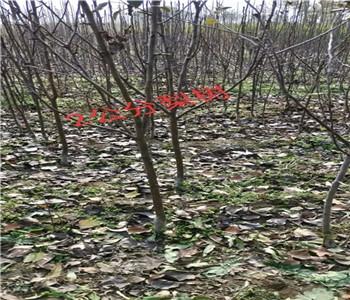 宁夏银川园黄树苗原产地卖什么价格