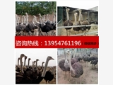 武汉孔雀苗价格孔雀种蛋珍禽水禽养殖场