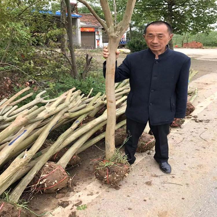 吉林4公分桂花  4公分红叶李苗圃批发价格