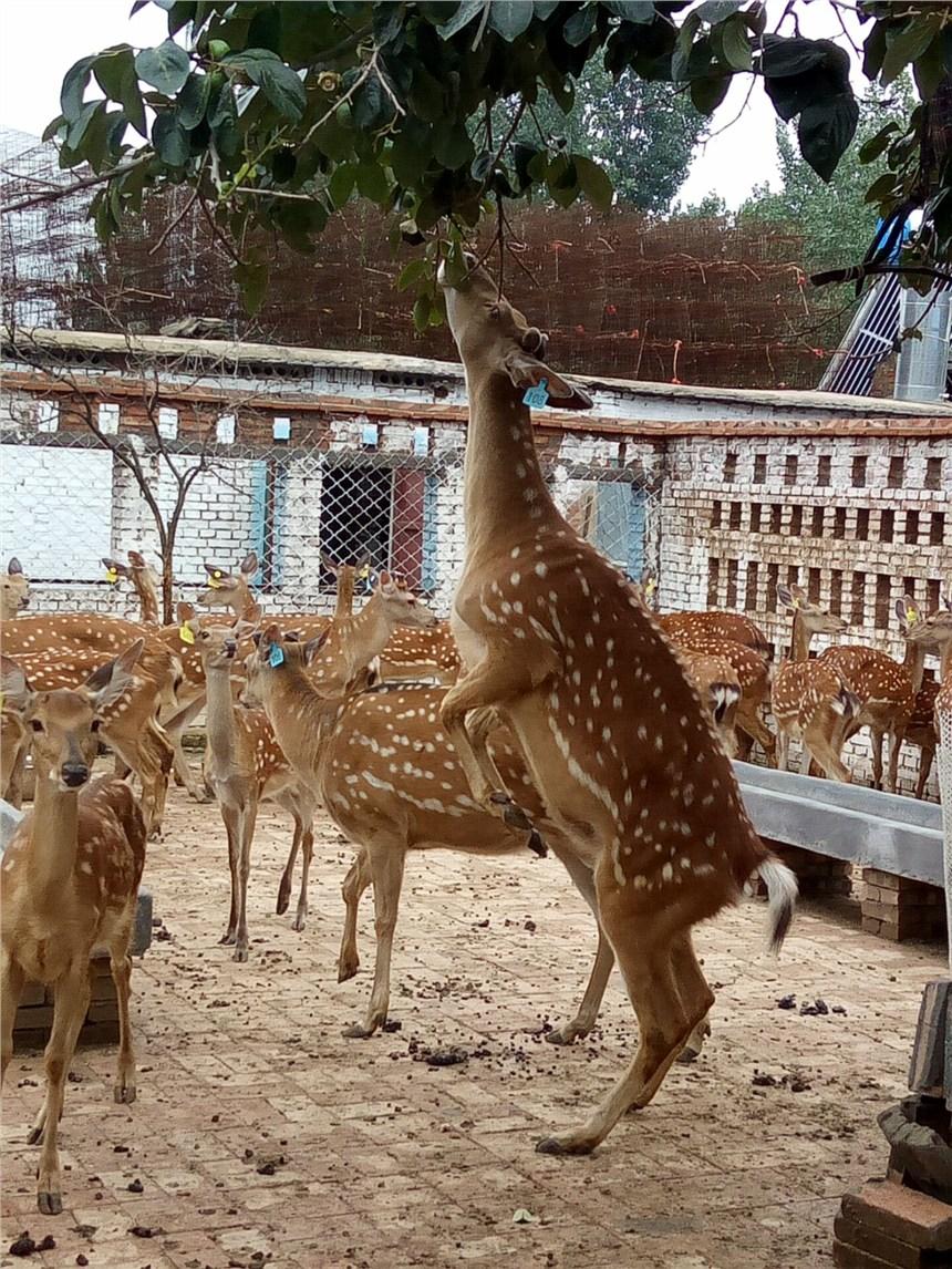 黔南州梅花鹿小鹿多少钱