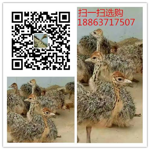 辰溪县人工养殖孔雀食用孔雀多少钱一斤