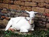 千阳莎能奶山羊多少钱一只$莎能奶山羊价格