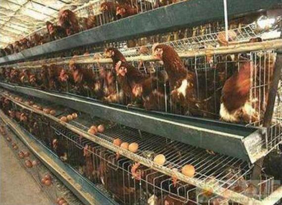 5层鸡笼,蛋鸡笼,肉鸡笼-www.tdyjc.com