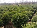 彩春峰是大戟科大戟属植物