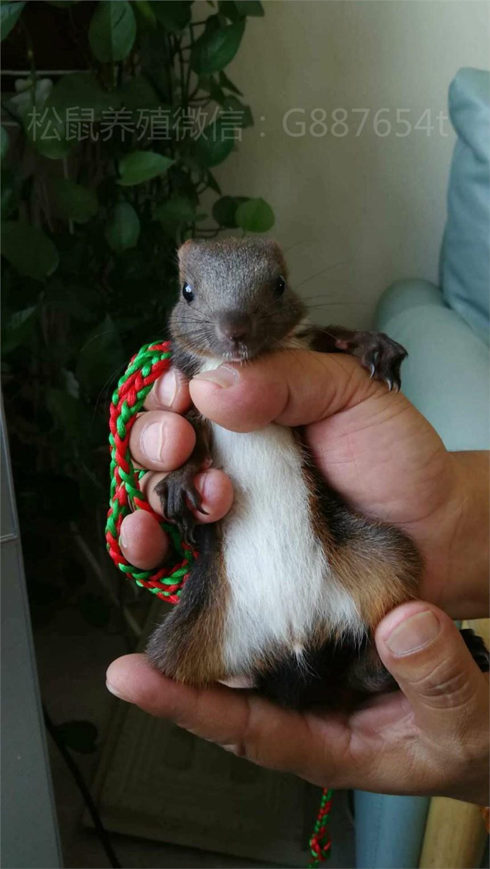 魔王松鼠价格,济南哪里有卖魔王松鼠幼崽