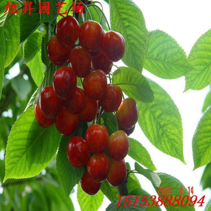 垂丝樱桃苗乌兰察布种植管理