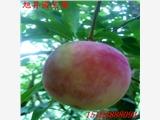 淄博市黑霸李子苗个大果甜