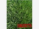 新聞:湖北武漢邊坡綠化草種護坡草種狗牙根批發