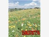 隆子草坪种子厂家