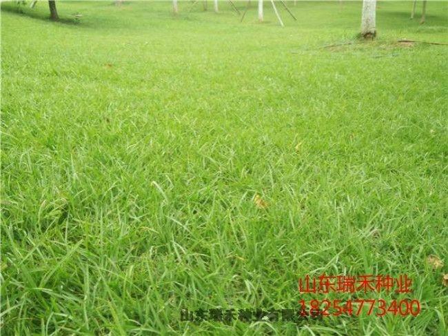 冷季型草坪种子草坪种子类河堤护坡