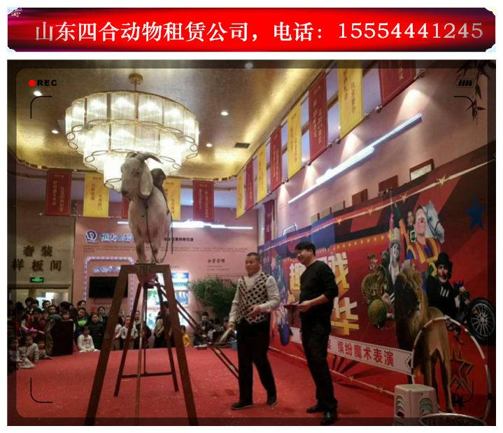 马戏表演主题活动企鹅租赁黑龙江铁力市 。