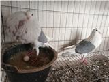 南京肉鸽价格,肉鸽,观赏鸽养殖