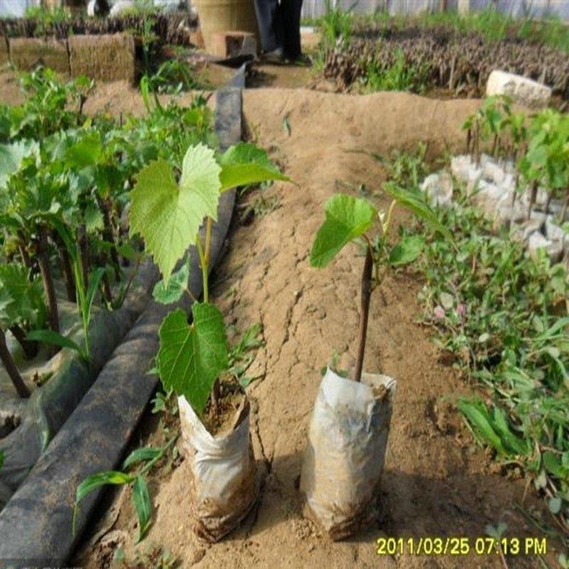 专业培育葡萄苗,尼娜皇后葡萄苗适合你种植