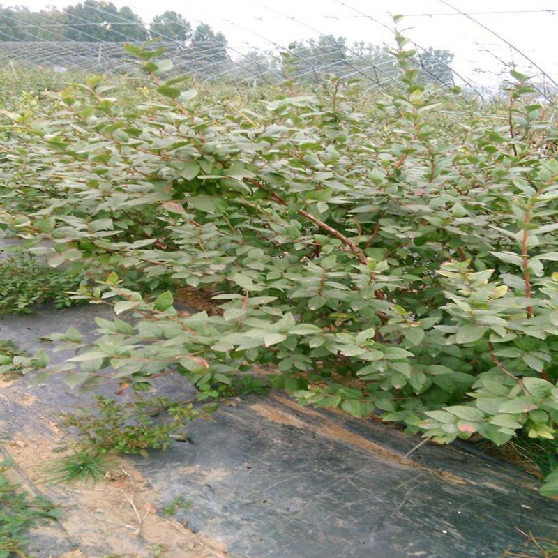 盆栽蓝莓苗,品种蓝莓苗风味浓甜
